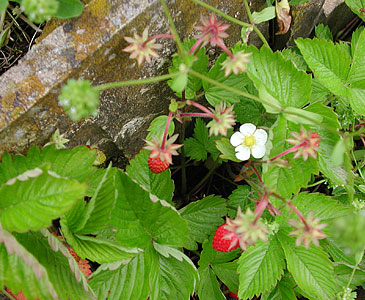 Alpine_strawberries