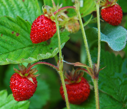 alpine_strawberries_606.jpg