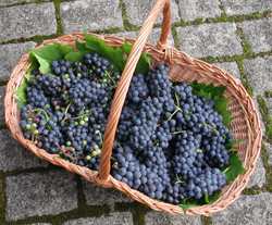 a basket of grapes from our garden last summer