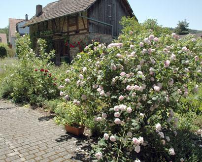 garden_roses1.jpg