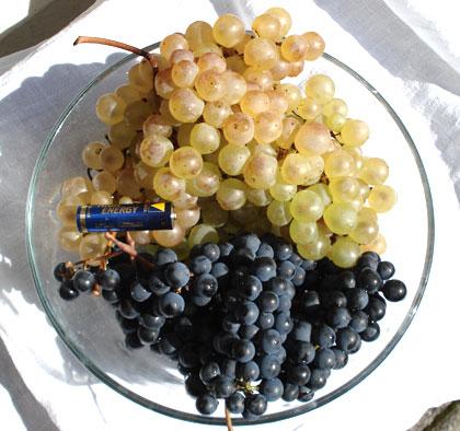 grapes-chasselas_americana2.jpg