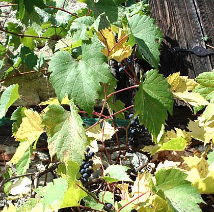 grapes2006-3.jpg