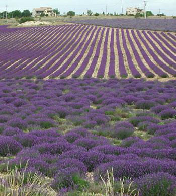 lavender_field1.jpg