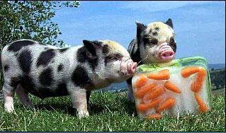 zoo-pig0.jpg
